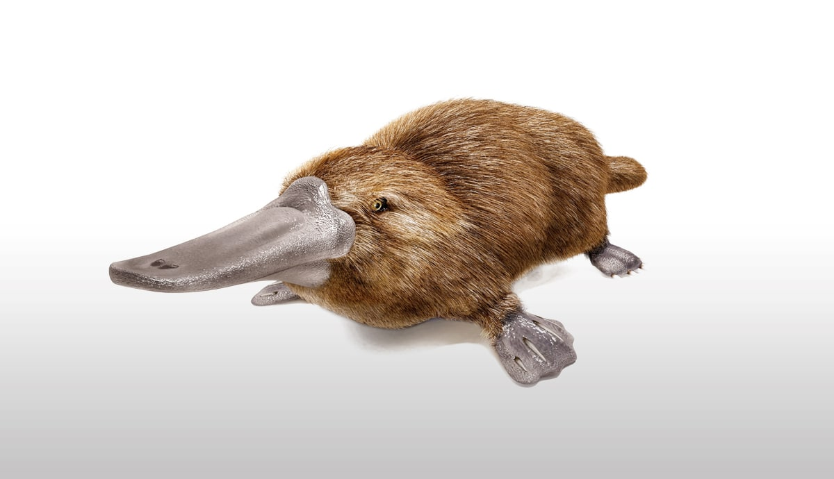 ornitorrinco de Australia