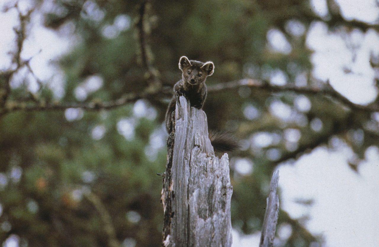 Marta cibelina encaramada a un árbol
