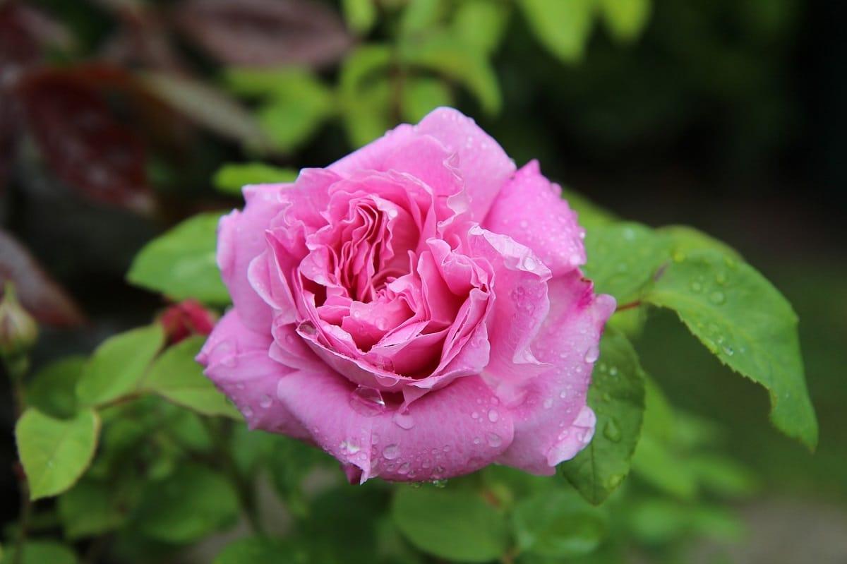Rosa Tudor